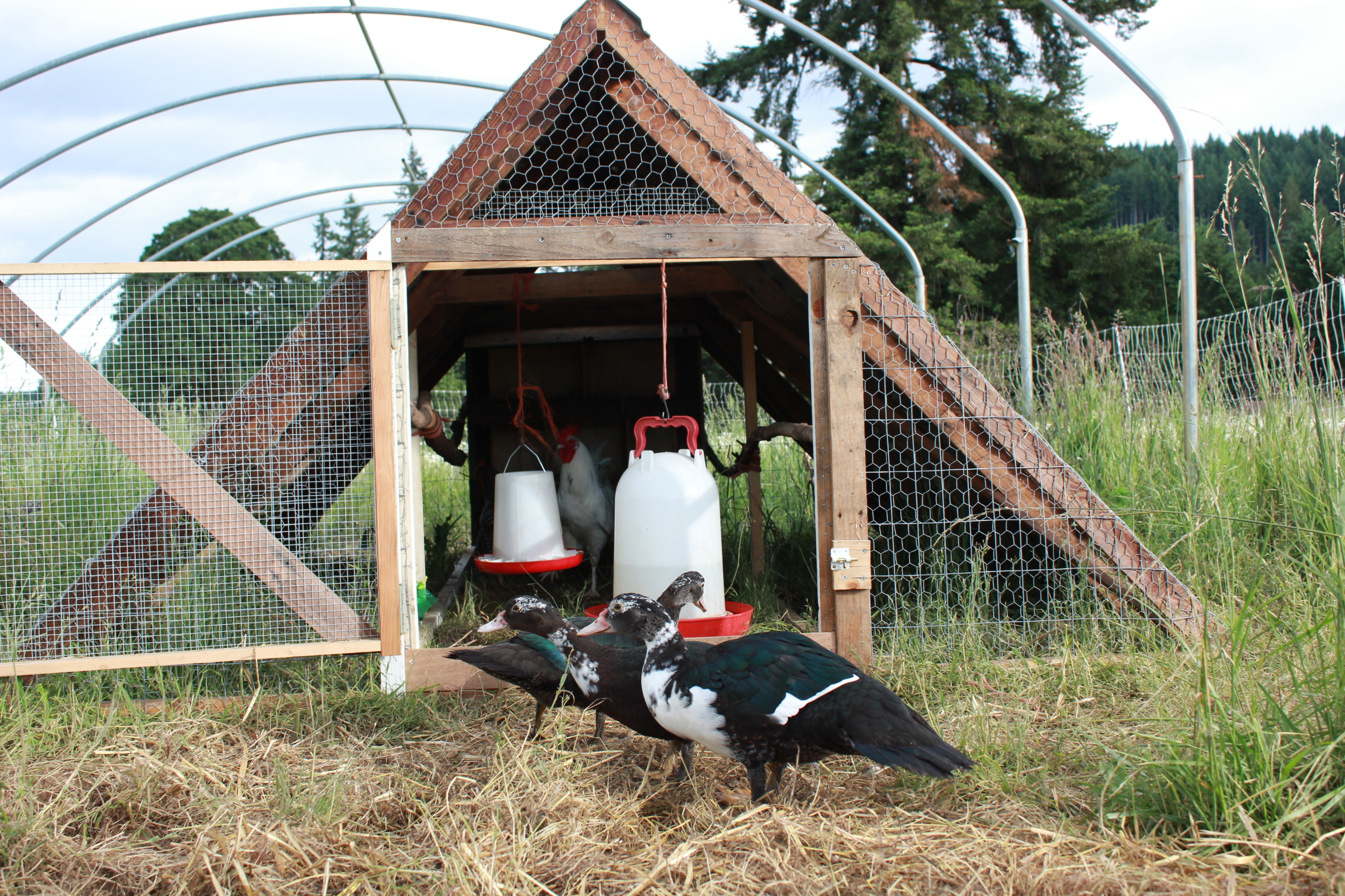 Muscovy ducks investigating our coop pocket pause for Duck house size