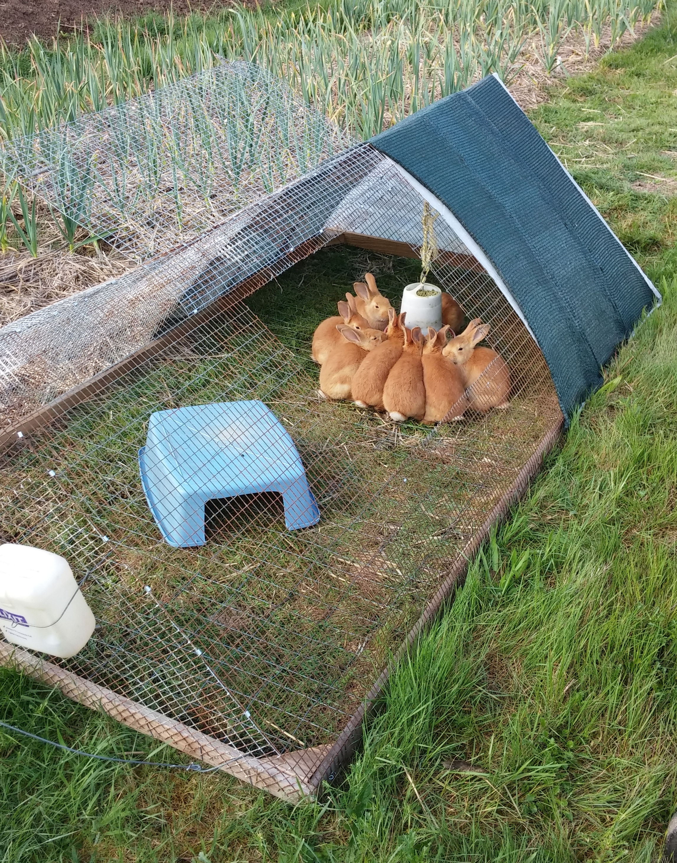 Pasturing rabbits safely in a mobile tractor pocket pause for Cage exterieur pour lapin