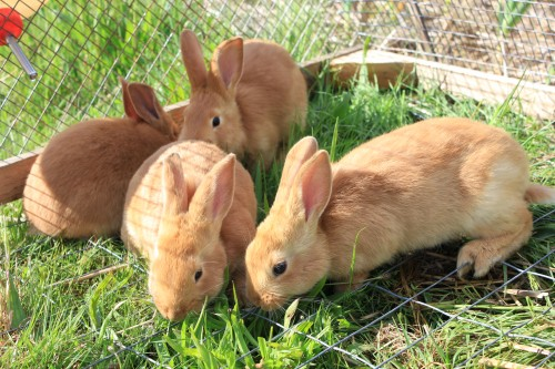 Pasturing rabbits SAFELY